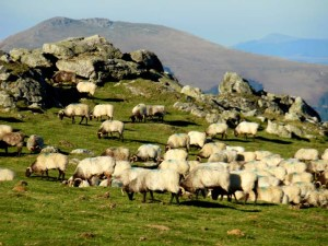 Sheep-ful Pyrenees