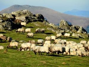 Sheep-ful Pyrenees