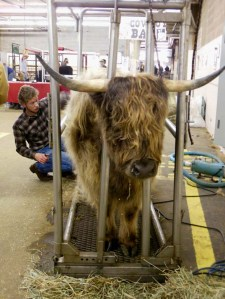 Highland cow being groomed.
